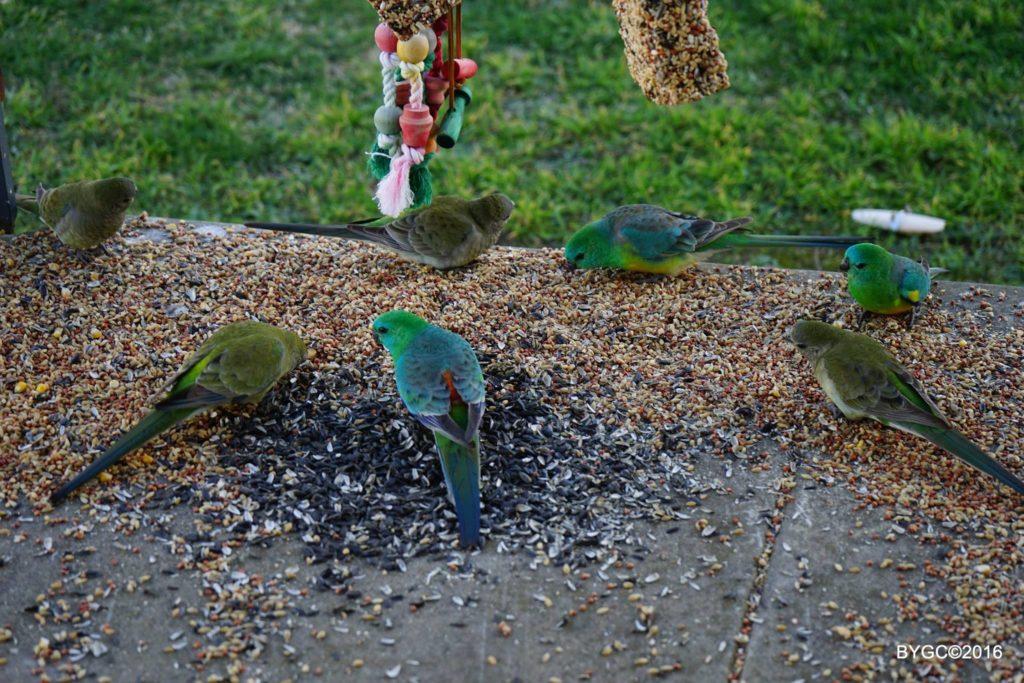 Grass Parrots