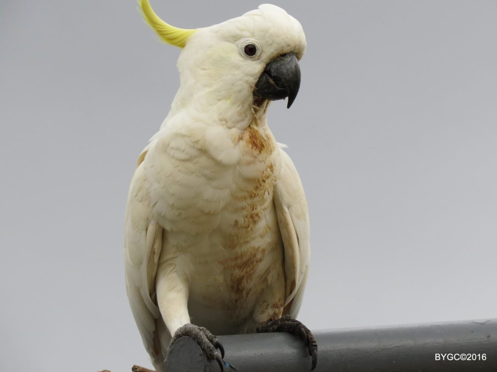 Dirty Sulfur Crested Cockatoo